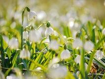 Snowflake Snowdrop spring Stock Image
