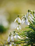 Snowflake Snowdrop spring Royalty Free Stock Photography
