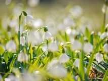 Snowflake Snowdrop spring Stock Photo