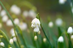 Snowflake flowers Leucojum aestivum growing in spring garden. Snowflake flowers Leucojum aestivum growing in spring garden royalty free stock photography