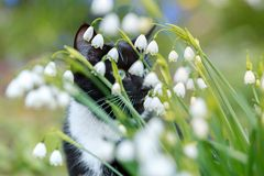 Snowflake flowers Leucojum aestivum growing in spring garden with black and white cat with green eyes on the back. stock image