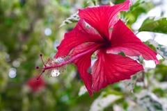 Snowflake Hibiscus κόκκινο λουλούδι Στοκ φωτογραφίες με δικαίωμα ελεύθερης χρήσης