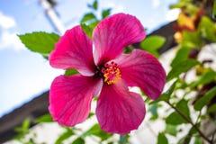 Snowflake Hibiscus κόκκινο λουλούδι Στοκ Φωτογραφίες