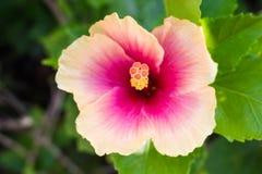 Snowflake Hibiscus λουλούδι Στοκ Φωτογραφίες