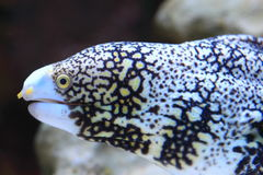 Snowflake moray Stock Photo