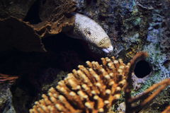 Snowflake moray Royalty Free Stock Photo