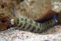 Snowflake Moray Eel Stock Images