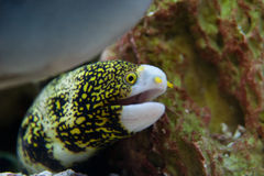 Snowflake Moray Eel. (Echidna nebulosa), normally sighted with only their heads extending from holes Royalty Free Stock Photos