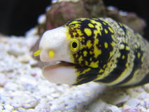 Snowflake Moray Eel. A snowflake moray eel in an aquarium Stock Photo