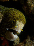 Snowflake moray Royalty Free Stock Images