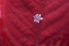 Snowflake on Poinsettia Petal Royalty Free Stock Photography