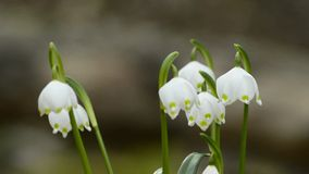 Snowflake. Rare protected spring flower of Germany stock video