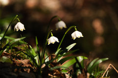 Snowflake sping flower Royalty Free Stock Photo
