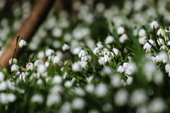 Snowflake sping flower Royalty Free Stock Images