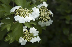 Snowflake Viburnum Royalty Free Stock Photos