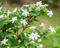Snowflake or wrightia antidysenterica flower.  Royalty Free Stock Photography