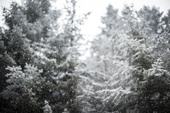 Snowflakes against winter forest. Stock Photography