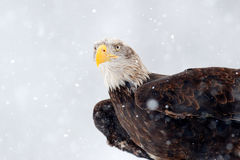 Snowflakes with Bald eagle, Haliaeetus leucocephalus, portrait of brown bird of prey with white head, yellow bill. Snow storm with Stock Photo