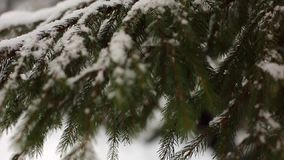 Snowflakes falling in slow motion on spruce and pine tree branches covered with snow. Winter day in fir tree forest. Christmas season and new year holidays stock footage
