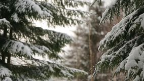 Snowflakes falling in slow motion on spruce and pine tree branches covered with snow. Winter day in fir tree forest. Christmas season and new year holidays stock video