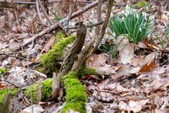Snowflakes in the forest between moss, leaves and broken branches. Wonderful snowflakes in the forest between moss, leaves and broken branches stock photography