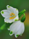 Snowflakes - Lillies. Spring Snowflake (Leucojum vernum) or Summer Snowflake or Loddon Lily Stock Image