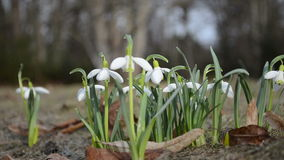 Snowflakes white wild spring flowers blooms closeup in forest stock video footage