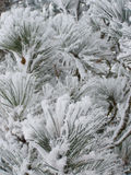Snowfrost on pine tree Royalty Free Stock Image