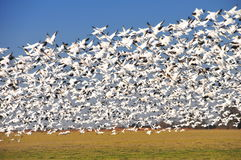 Snowgeese airborne after being shot at. Stock Photography