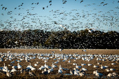 Snowgeese Flying In Stock Images