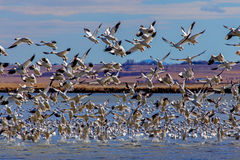 Snowgeese Taking Off From A Pond Stock Photography