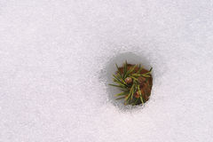 Snowgräs Royaltyfri Fotografi