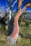 Snowgum Royalty Free Stock Image