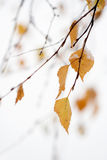Snowing in autumn. Colorful autumn leaves covered with snow Royalty Free Stock Images