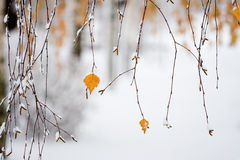 Snowing in autumn. Colorful autumn leaves covered with snow Stock Photo