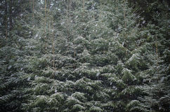 It is snowing on a background of green fir trees crown. Snowing and green fir trees on a background Stock Photography