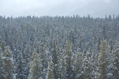 Snowing in forest 01. Snowfall in a Rocky Mountain forest Stock Image