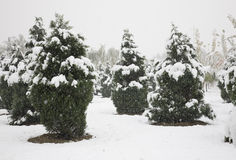 Snowing forest Royalty Free Stock Images