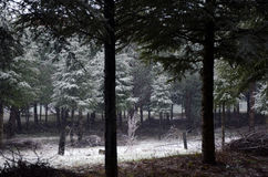 Snowing upon forest. In winter Royalty Free Stock Photography