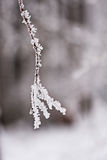Snowing landscape. Details on the branches Royalty Free Stock Image
