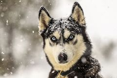 Wolf under powder. Snowing a lot in the forest, a dog that seems like a wolf, friend from the mountain, powder day, blue eyes, the nature is amazing, view from stock photography