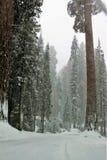 Snowing na redwood drzewach w sekwoja parku narodowym Kalifornia zdjęcia stock