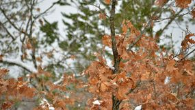 Snowing on an oak tree, winter concept. Piture of a snowing on an oak tree, winter concept Royalty Free Stock Photo