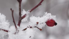 Snowing over brier twig, snowed red  berry, blur background, red and white harmony, close up. UHD 4K stock video