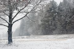 Snowing peacefully in a field in New England on a late December day. Gray day, oak tree in foreground, multiple tees in stock image