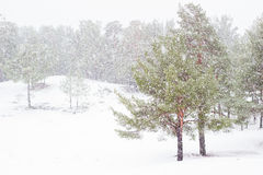 Snowing in pine forest Royalty Free Stock Photos