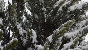 Snowing on pine leaves stock video footage