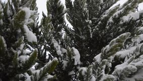 Snowing on pine leaves stock footage
