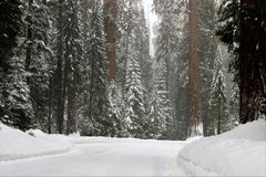 Snowing on redwood trees and road in Sequoia National Park California. Landscape. Beautiful. Serene Royalty Free Stock Images