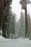 Snowing on redwood trees in Sequoia National Park California. Snowing on redwood trees and road in Sequoia National Park California.. Landscape. Beautiful Stock Photos